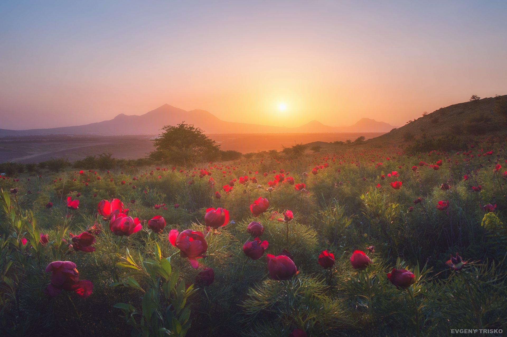 закат, рассвет, пейзаж, цветы, пионы, пятигорск, горы,, Евгений Триско