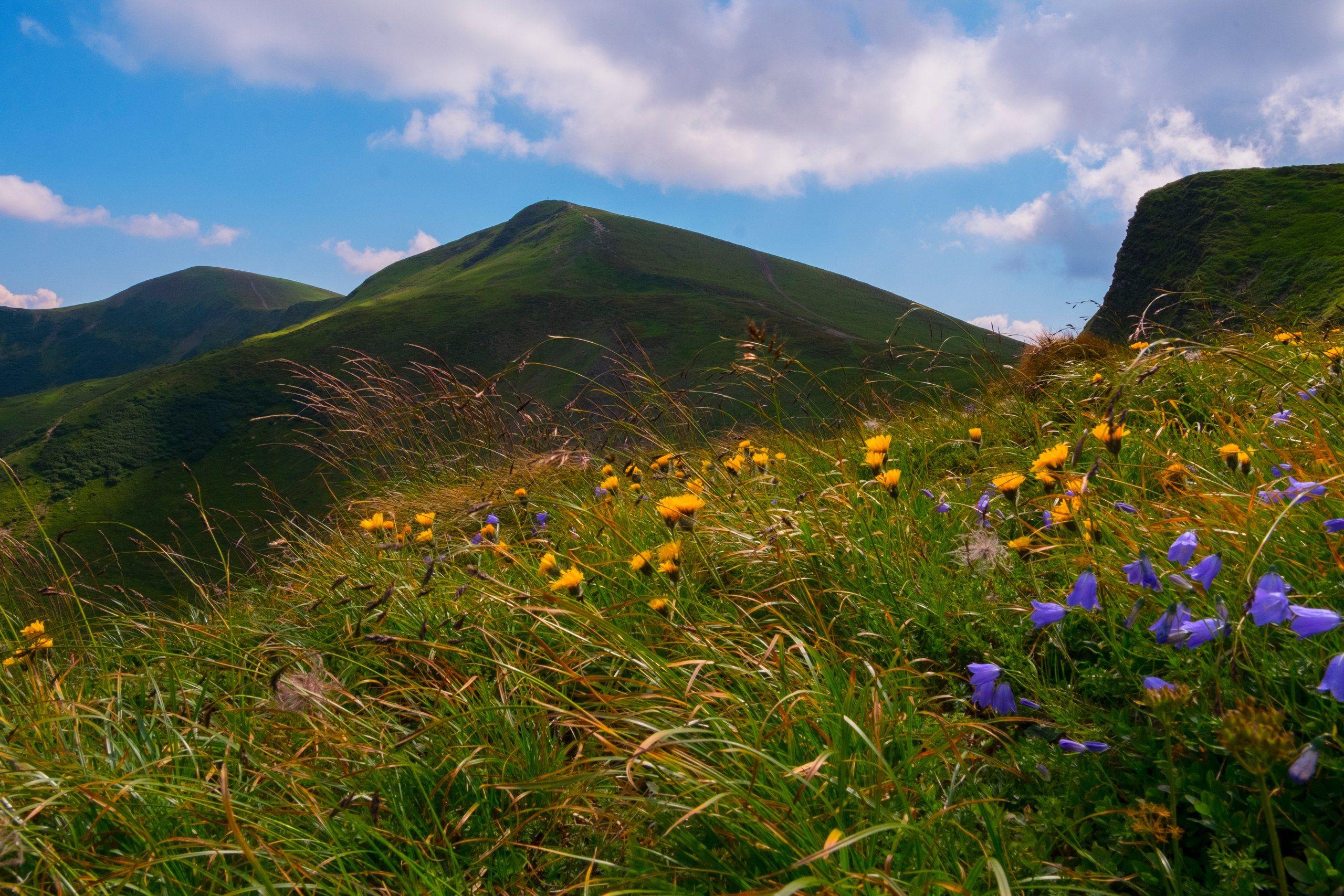 цветы, колокольчики, драгобрат, карпаты, горы, холмы, склоны, облака, природа, небо., Харланов Никита