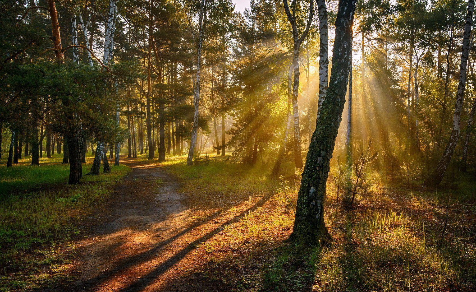 landscape, пейзаж,  лес, сосны, деревья,  природа, прогулка, дорога, проселок, березы, утро, солнечный свет, солнечные лучи, Михаил MSH