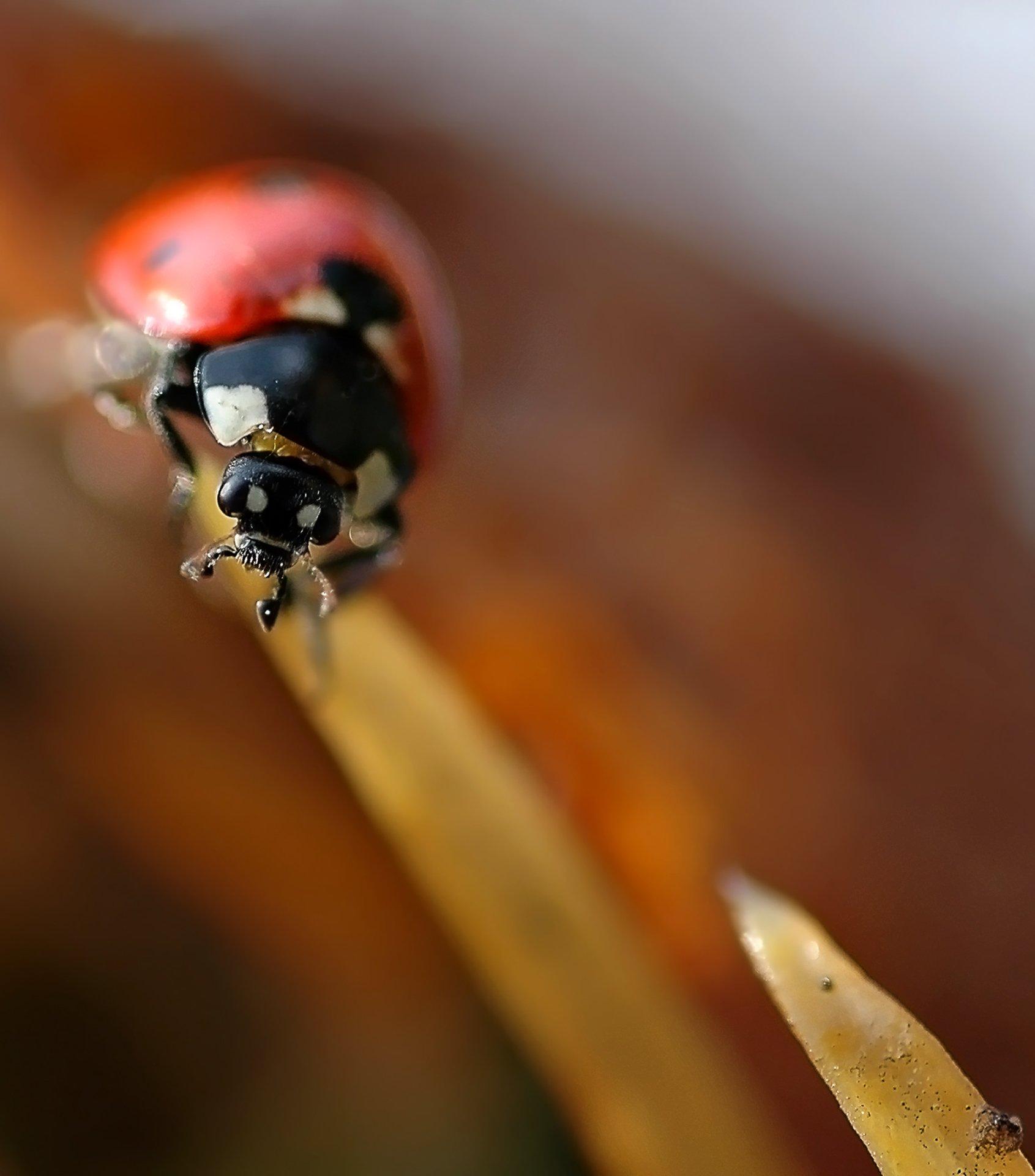 природа, макро, насекомые, жук, божья коровка, формула 1,, Неля Рачкова