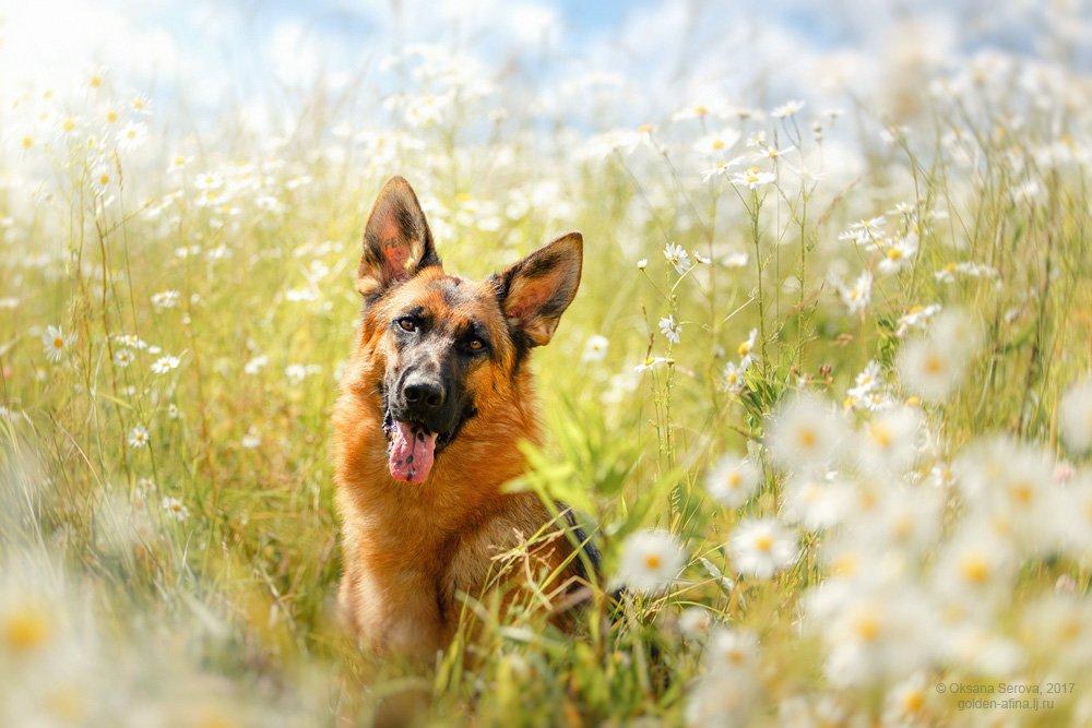 собака, немецкая овчарка, портрет, ромашка, поле, солнце, небо, Оксана Серова