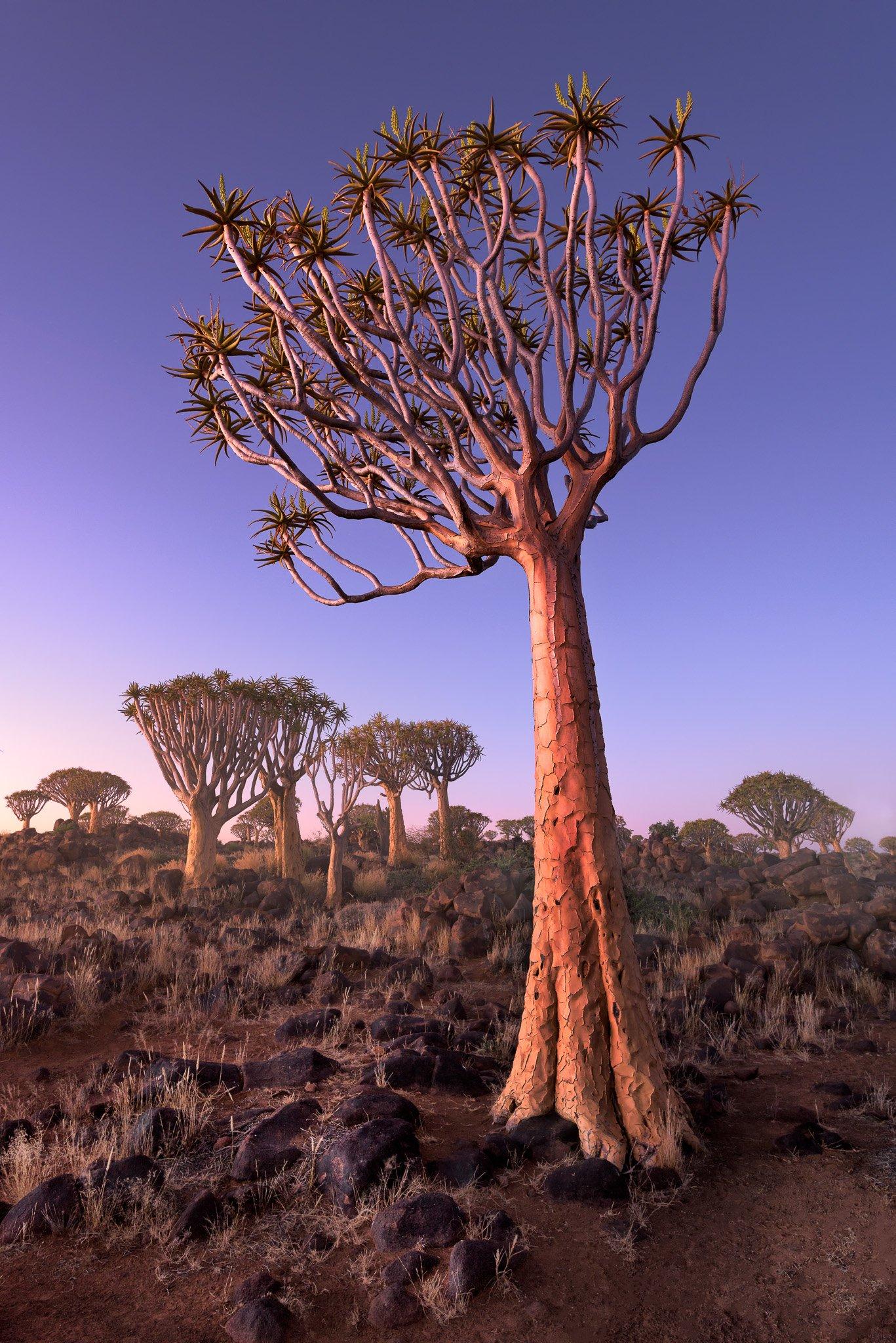 Africa, african, aloe, arid, bark, black, blue, branches, bush, dawn, desert, dichotoma, dry, forest, giant, granite, grass, green, keetmanshoop, landscape, light, magical, morning, mystical, namib, namibia, national, natural, nature, outdoor, park, plant, anshar