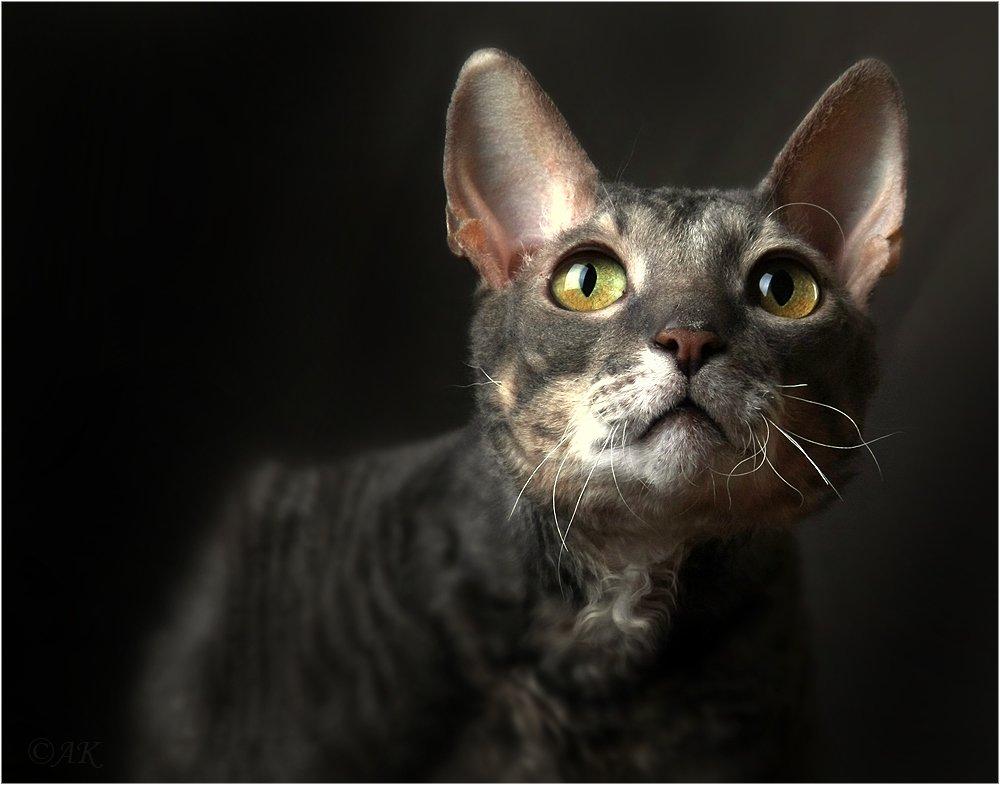 кот, студия, глазищи, kisandr