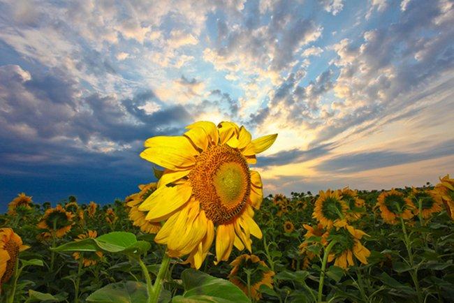 подсолнух, закат, солнце, Leonid Shvarts