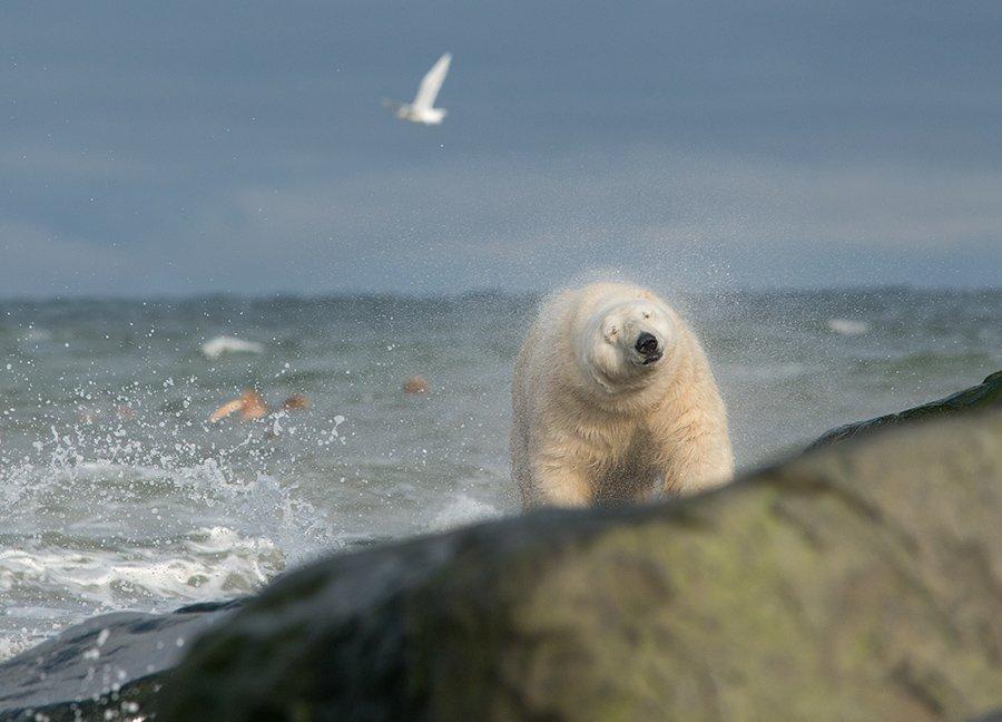 чукотка арктика медведб морской белый полярный умка, Максим Деминов