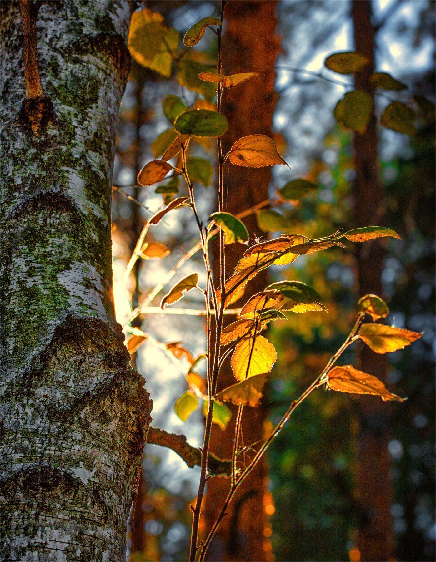 nature, природа,  растение, листья, береза, солнечный свет, дерево, осень, Михаил MSH