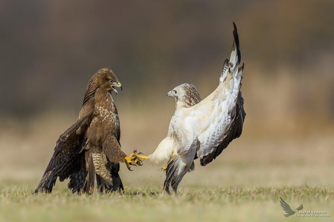 birds, nature, animals, wildlife, colors, fight, flight, nikon, nikkor, lens, lubuskie, poland, Rafał Szozda