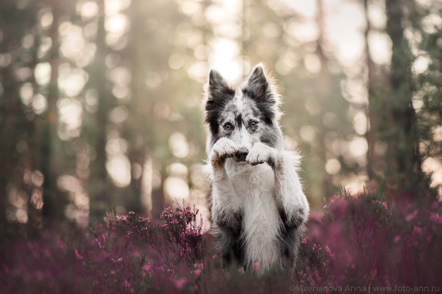 собака, природа, лес, вереск, Анна Аверьянова