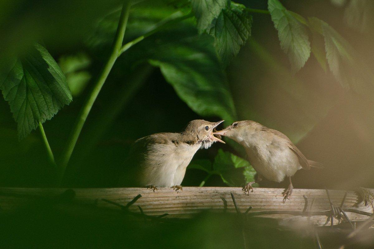 садовые камышовки, птицы, Михаил Агеев
