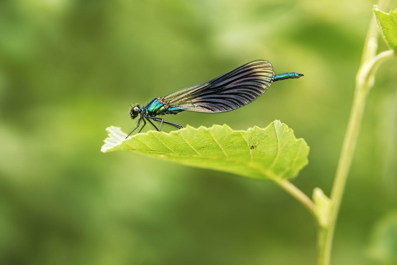 стрекоза, красотка-девушка, зеленая, лист, паук, Вера Ра