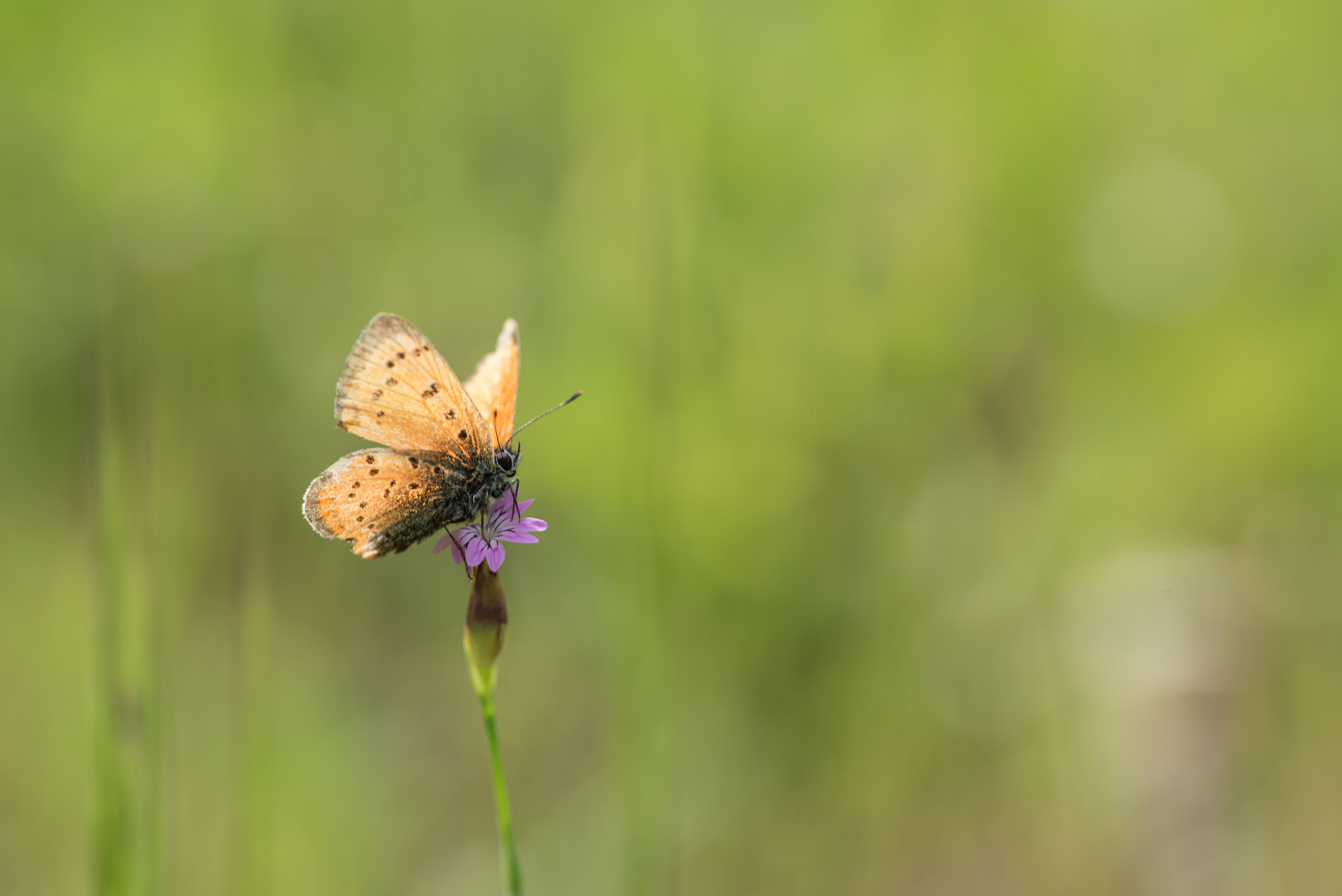Butterfly, yellow, small flower,, Атанас Донев