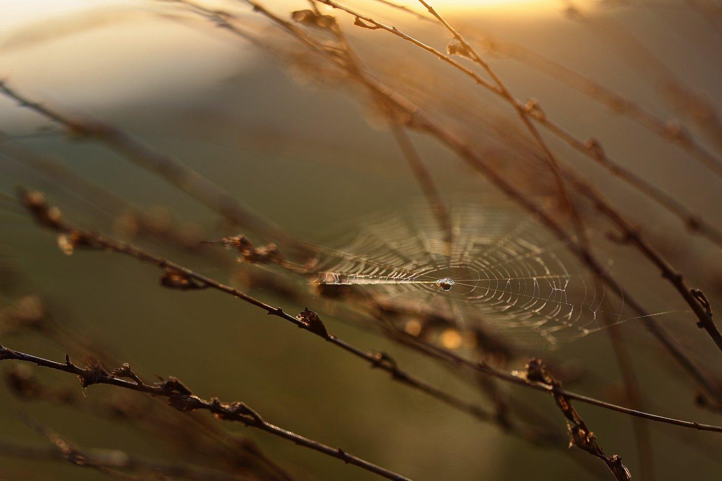 рассвет, паутина, паук, самарский лес, Сергій Марков