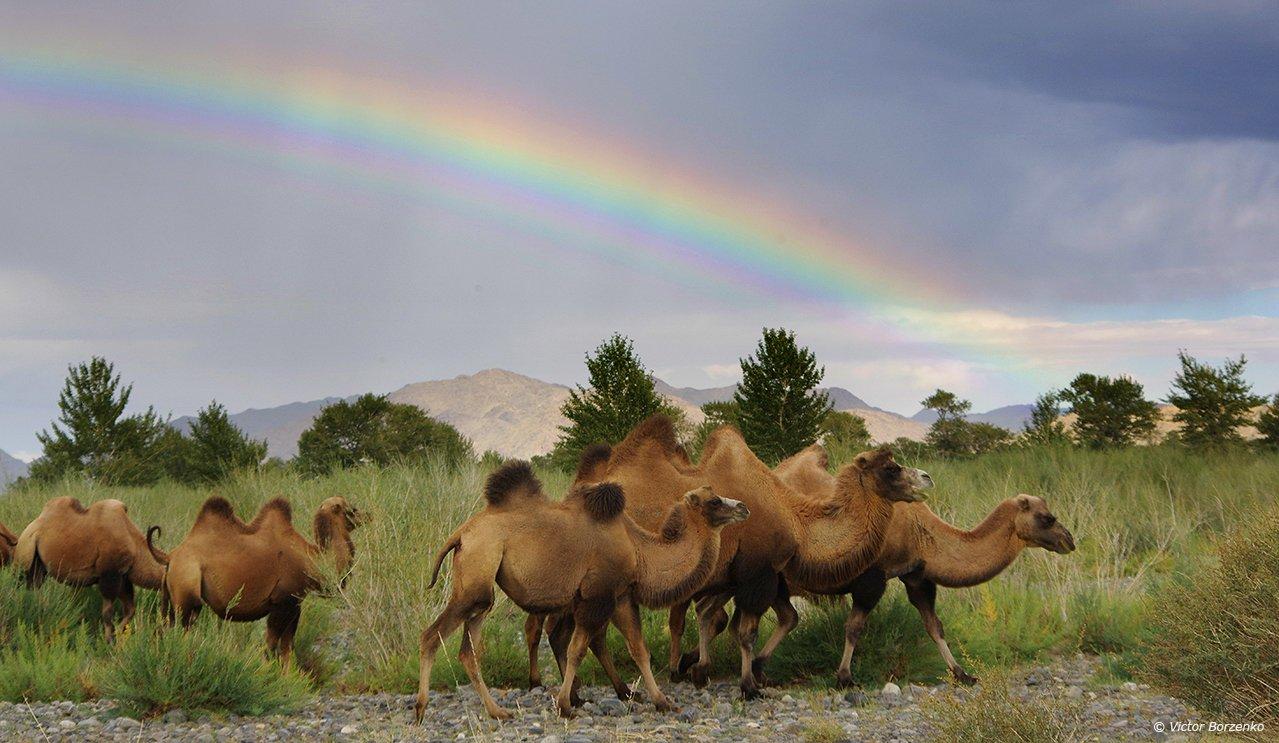 монголия, радуга, верблюды, Виктор Борзенко