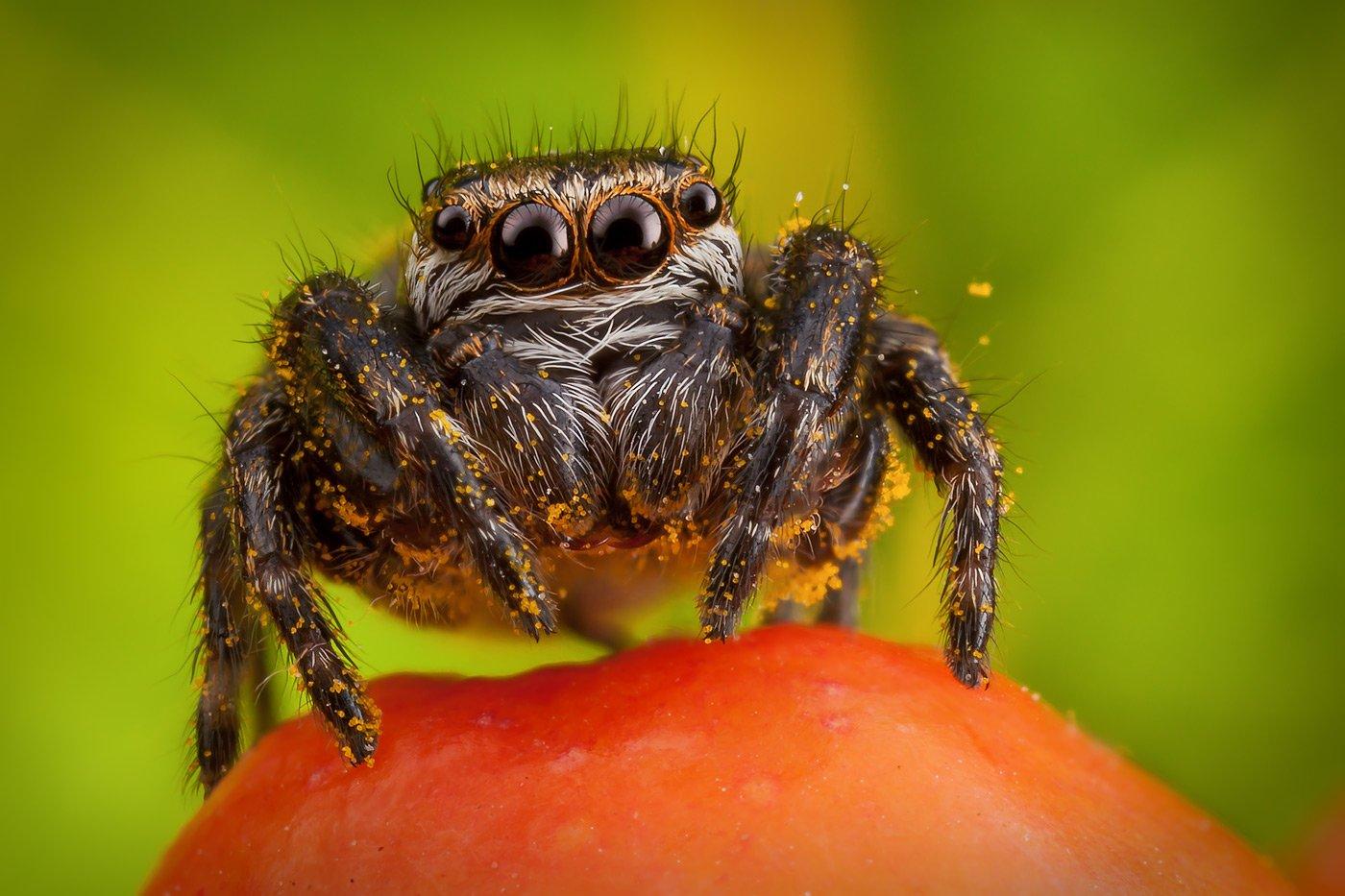паук, скакун, pябина, макро, пыльца,, Linas T