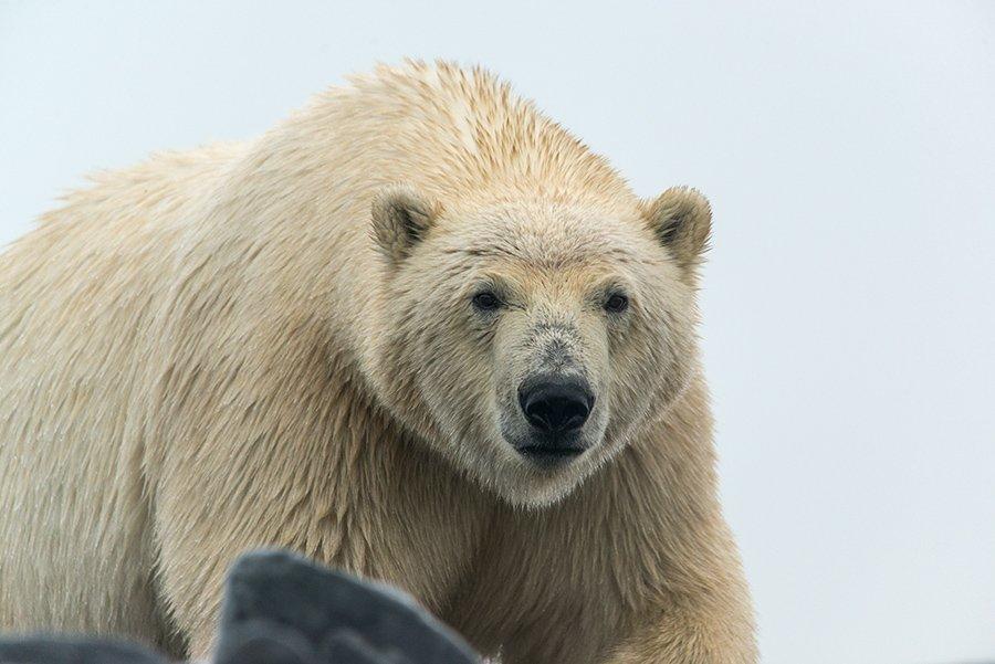 чукотка арктика медведь белый полярный морской, Максим Деминов