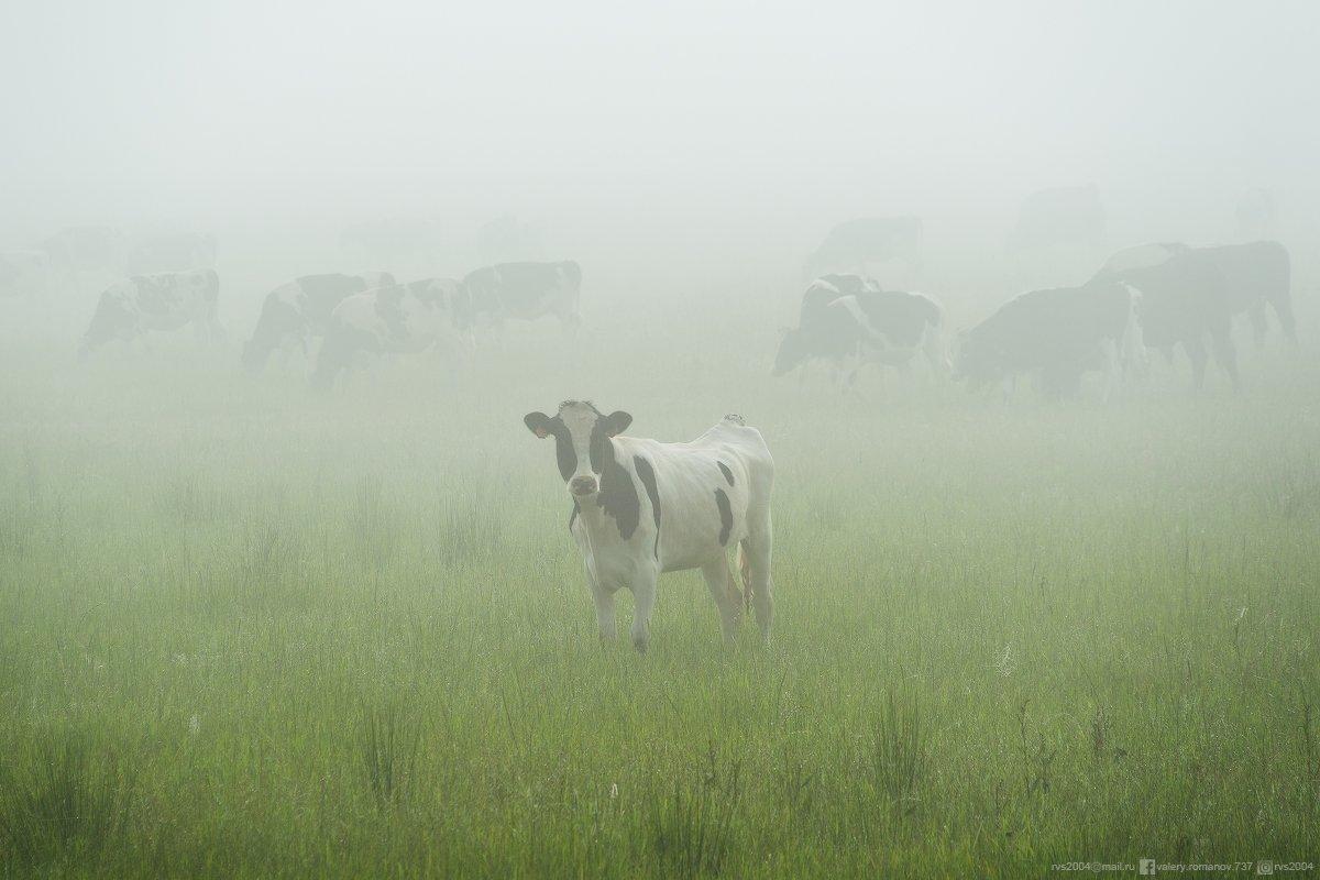 лошадь, Бишкек, пастух, скот, Кыргызстан, Курдистан,  природа, пейзаж, животное, трава, млекопитающее, поле, ферма, пастбище, скот, Сельское хозяйство, корова, сельский, стадо, луг, скот, пастбище, Португалия, туман, зеленый, белый, Валерий Романов