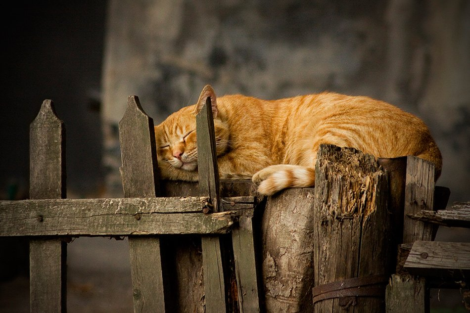спящий, рыжый, кот, Антон