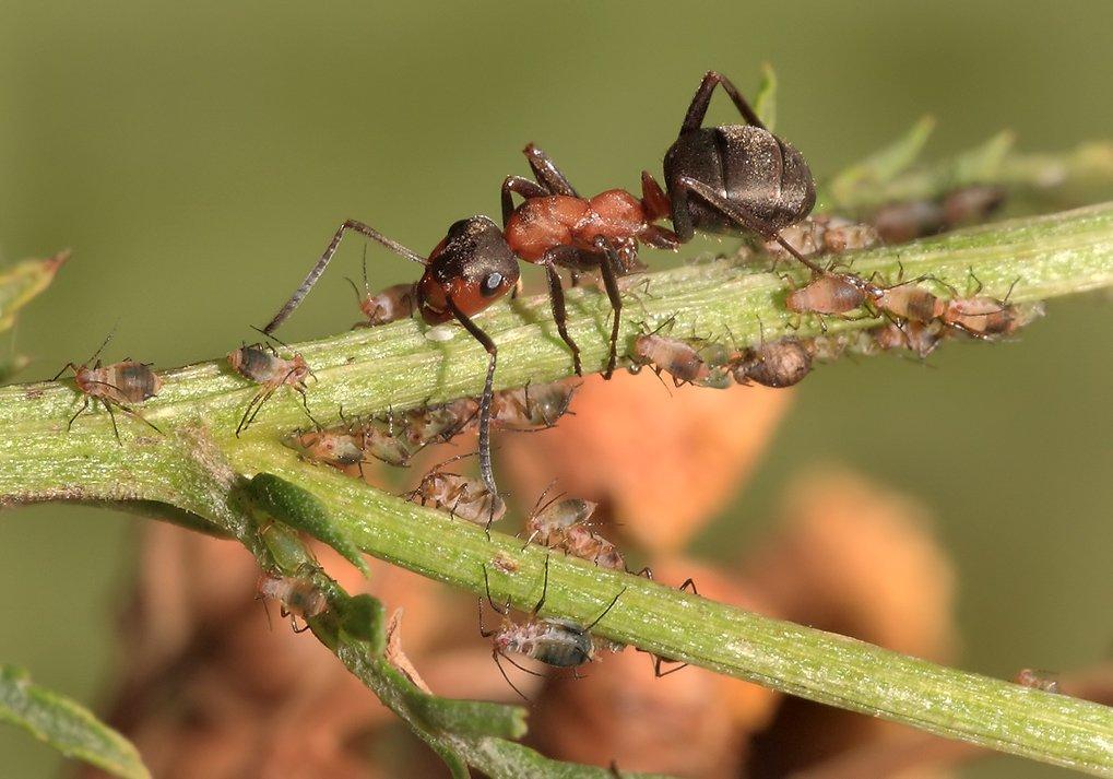 лето, муравей, тля, Олег Сурьянинов