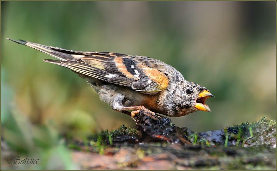 птицы, природа, вьюрок, Солисия