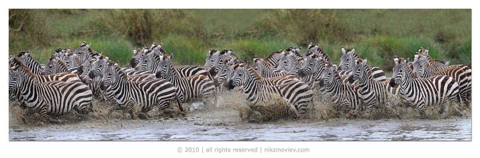 зебра, дикие животные, африка, саванна, серенгети, танзания, николай зиновьев, Николай Зиновьев