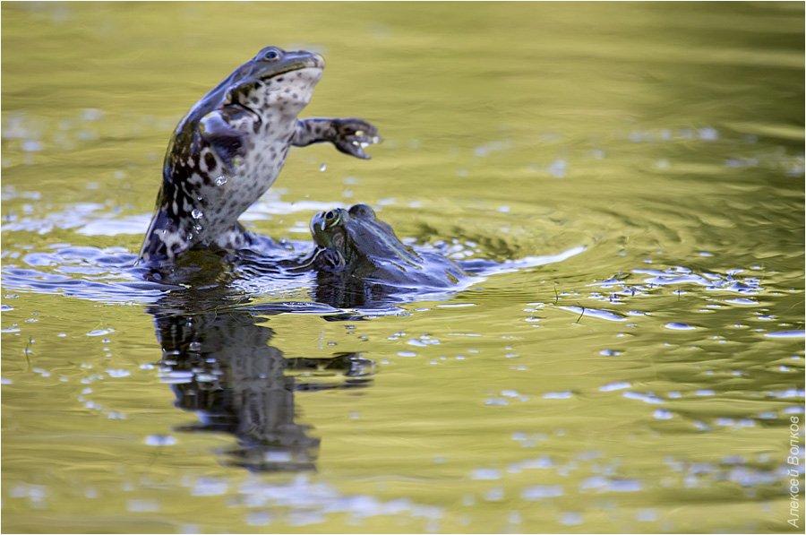 озёрные лягушки, дуэль самцов, rana ridibunda, Amazon-san