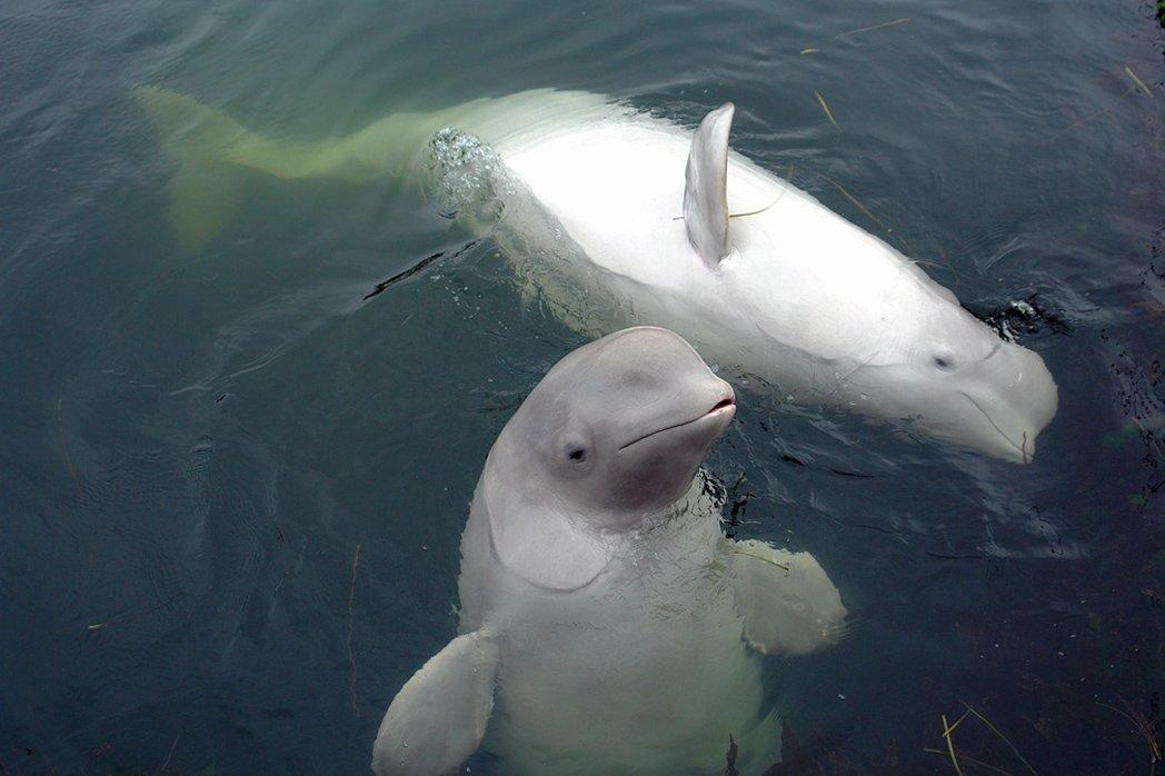 белухи, море, киты, дельфины., КолоБор Ориевич