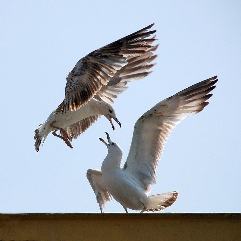 чайки, VictorSe