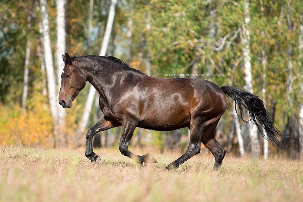 лошадь. животные. красота, Аксёнова Олеся