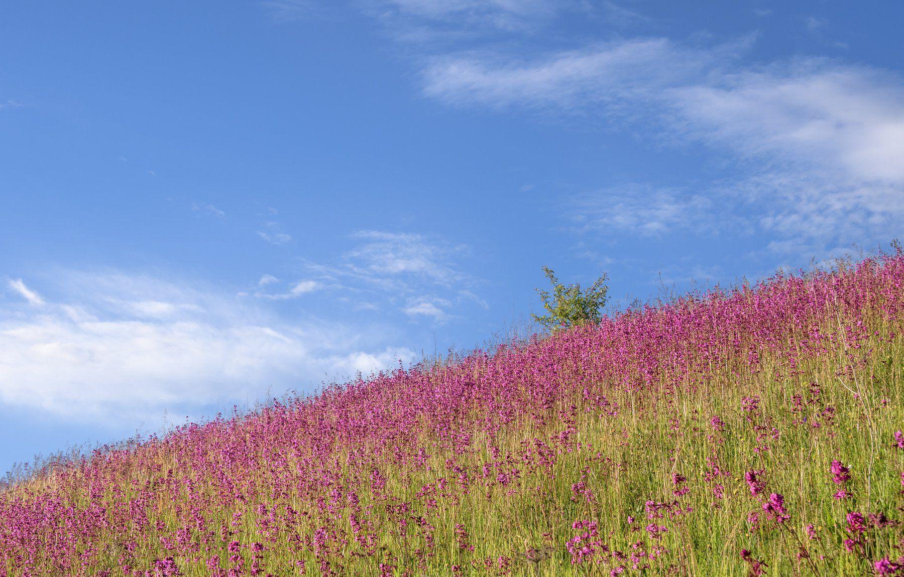 цветение,розовый,смолка клейкая,голубое небо,июнь,лето,симфония,рязанская область, Соварцева Ксюша