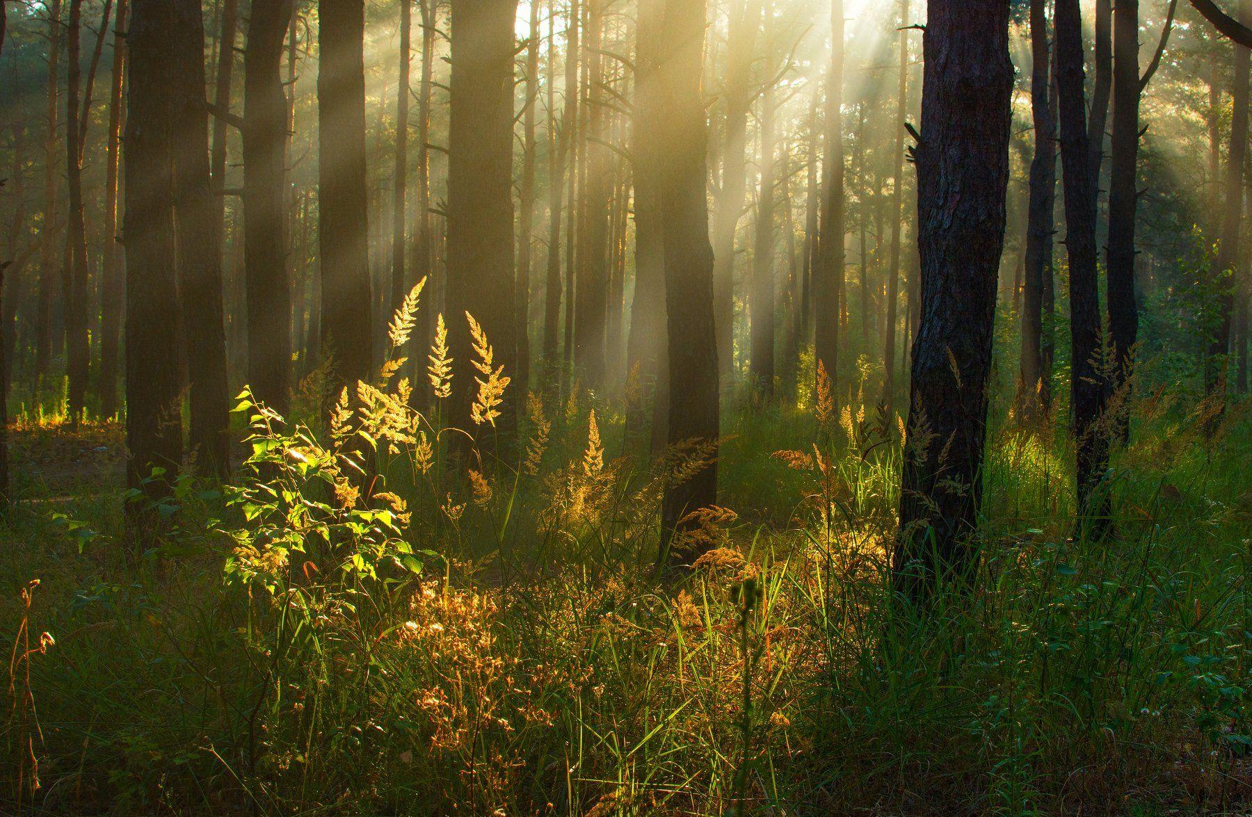 landscape, пейзаж, утро, лес, сосны, деревья, солнечный свет, солнечные лучи, солнце, природа,, Михаил MSH