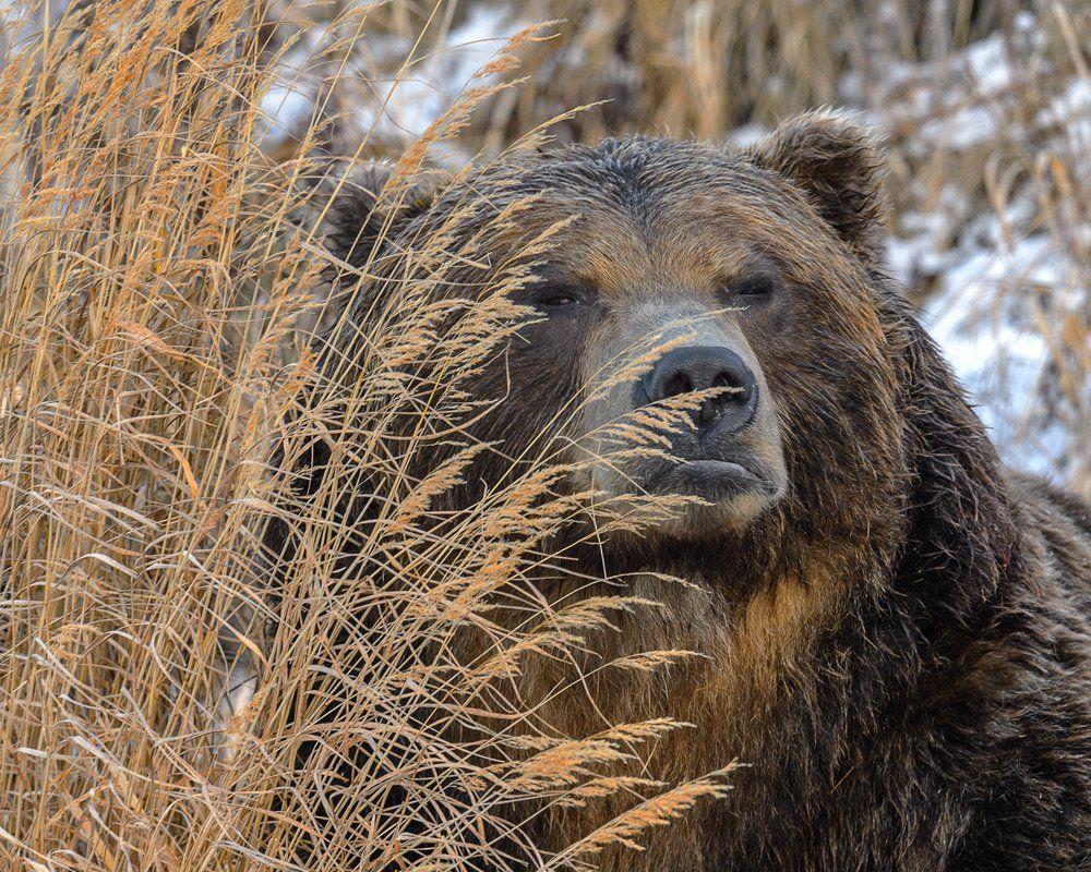 бурый, медведь, Сергей Иванов