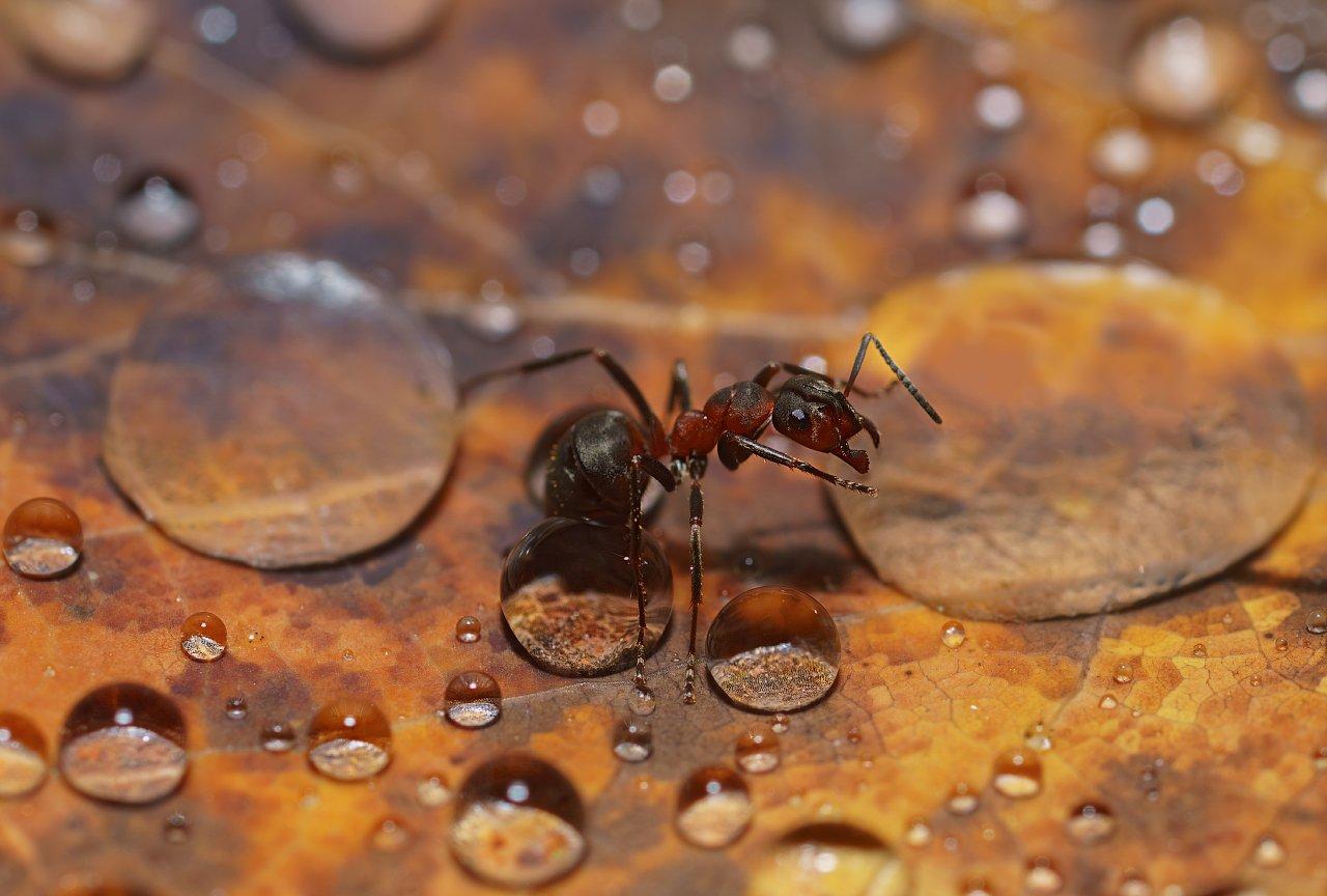 печора,коми,север,муравей,капли,дождь, Игорь Подобаев
