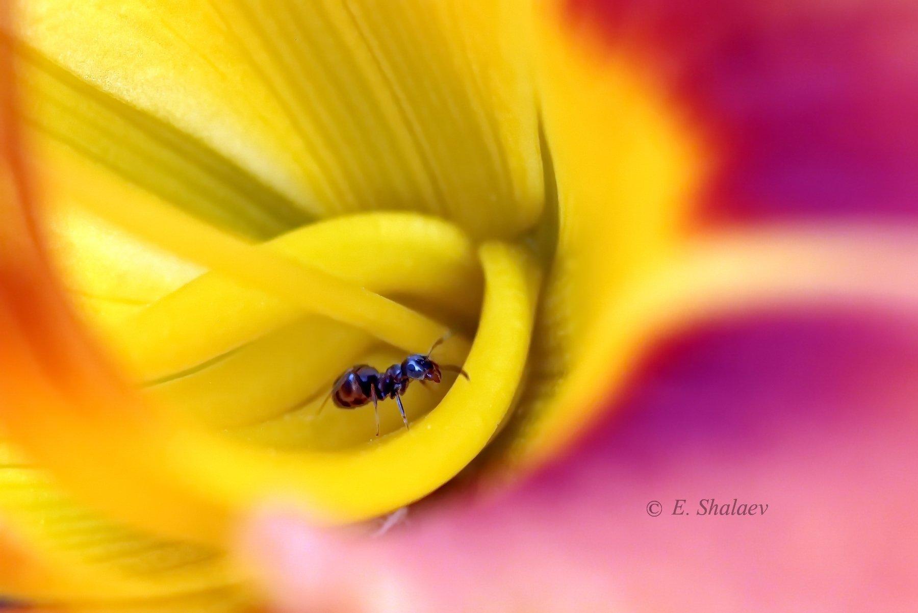 цветок,муравей,макро, Евгений