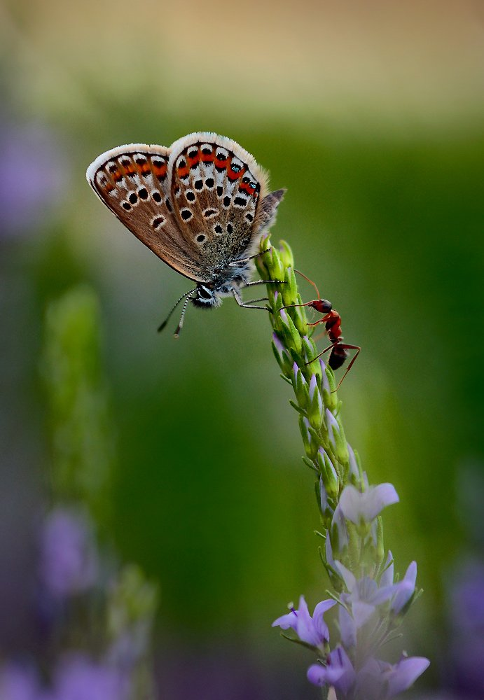 бабочка, муравей, Петриченко Валерий
