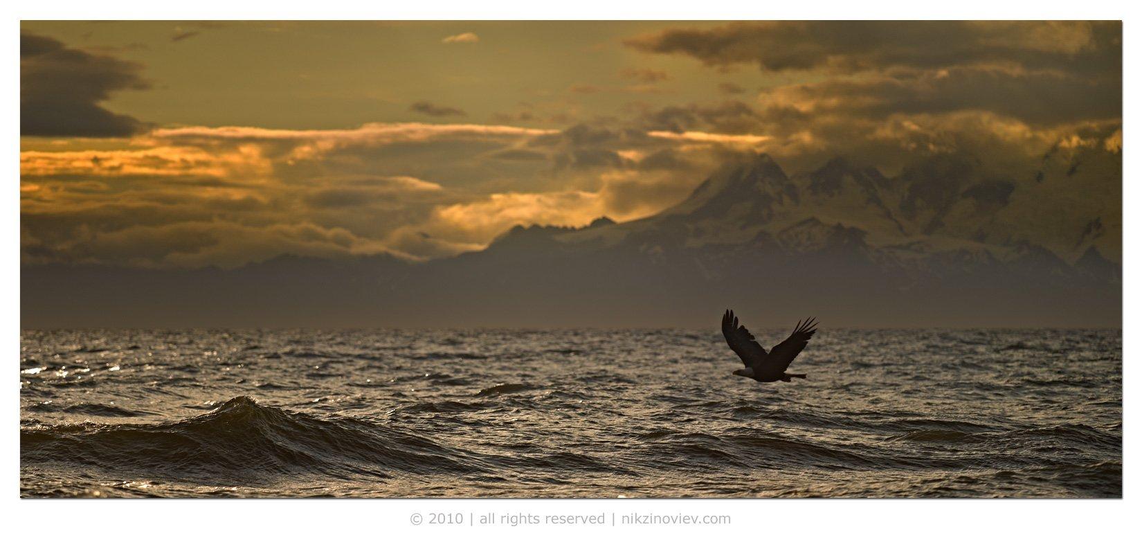 белоголовый орлан, пейзаж, аляска, сша, Николай Зиновьев