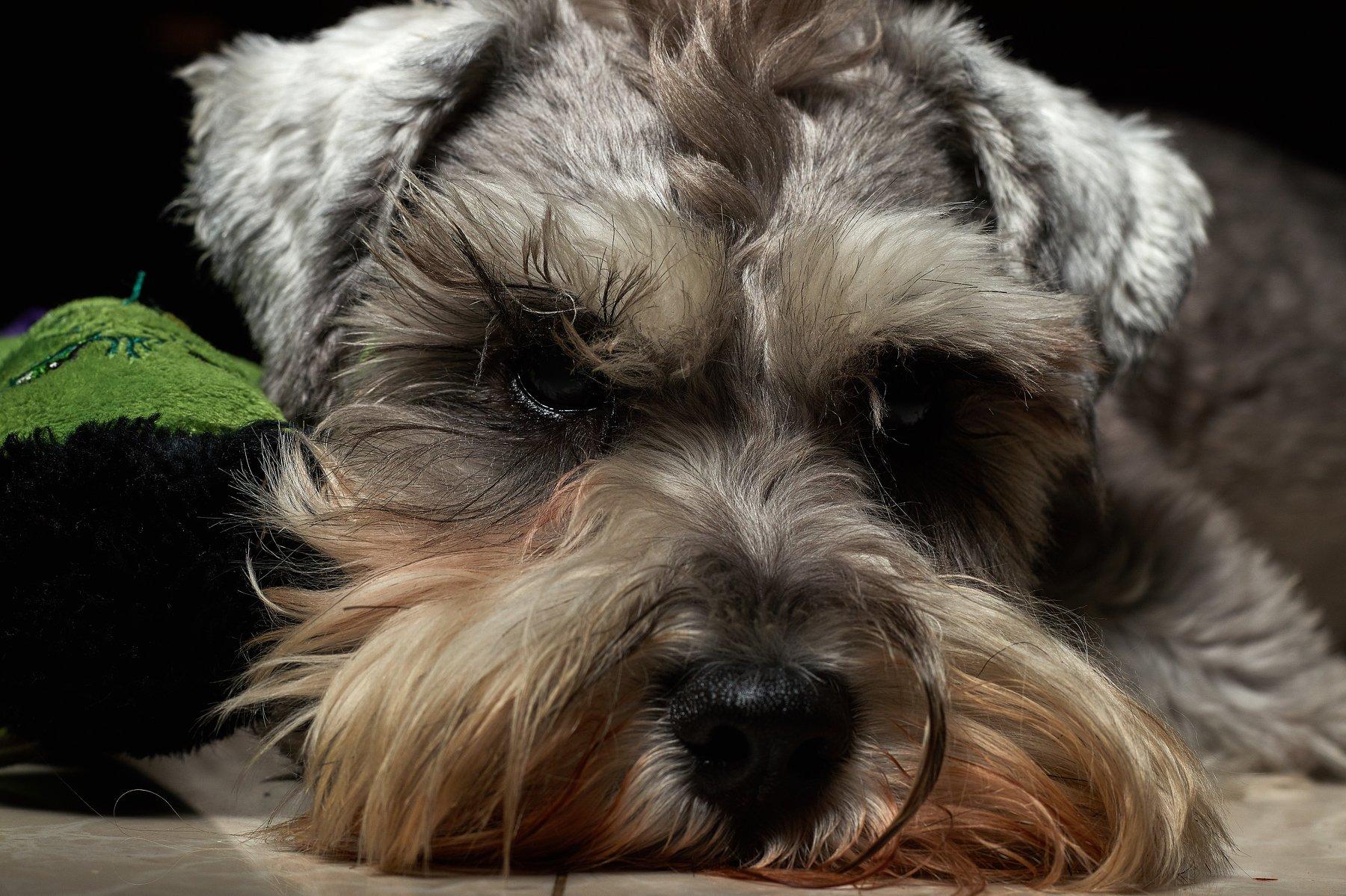 шнауцер, собака, свет, морда, серый, шерсть, низкий ключ,, Виталий Мытник