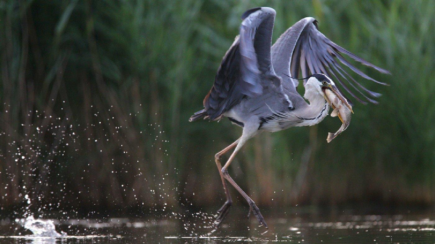 birds,nature,wildlife,grey heron,fish,fishing,rostov region,серая цапля,птицы,дикая природа,фауна,рыба,рыбалка,, Константин Слободчук