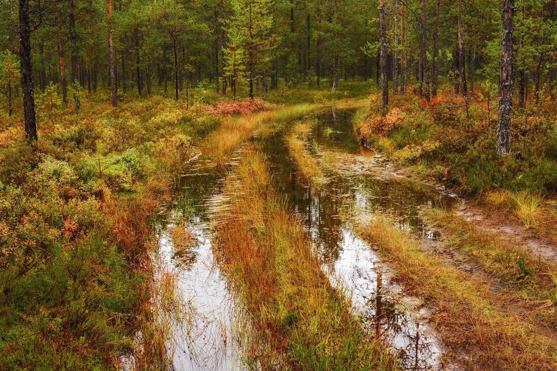 осень пинега лес деревья кусты дорога лужи отражения, Вера Ра
