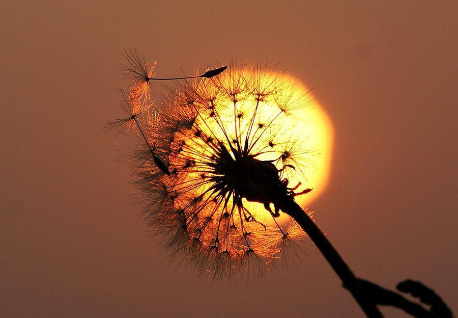 закат, свет, одуванчик, полёт,, Светлана Карнаух