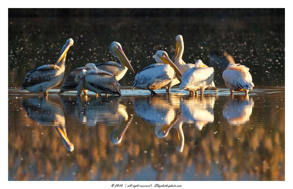 розовый, пеликан, pelecanus, onocrotalus, израиль, перелетные, птицы, Elizabeth