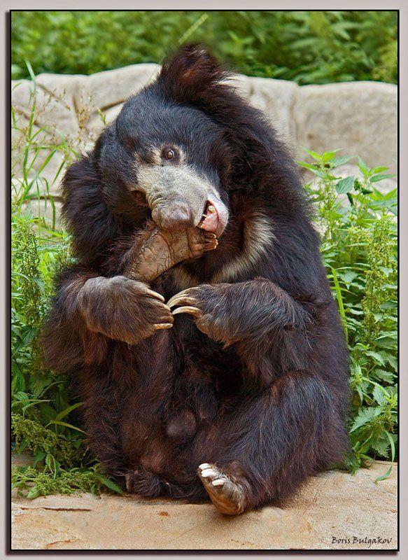 медведь, педикюр, Борис Булгаков