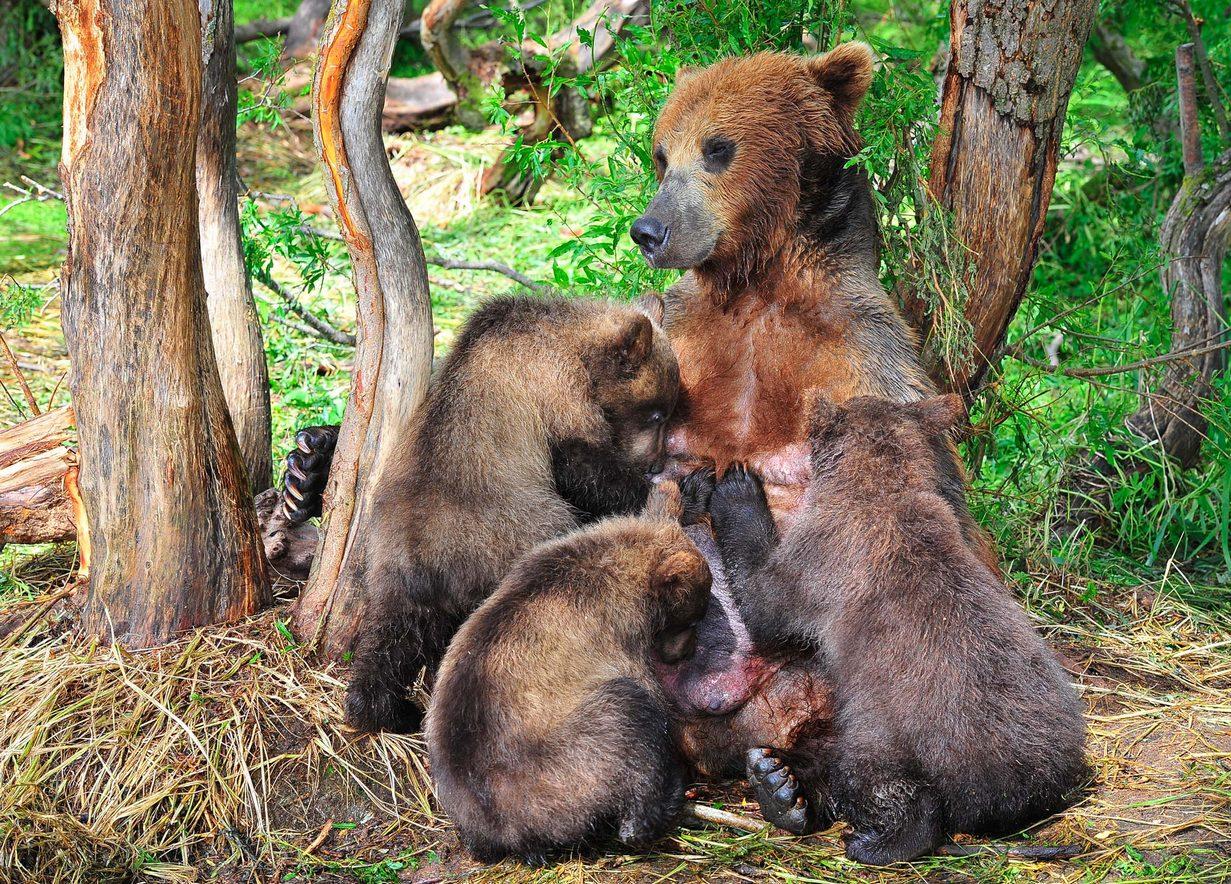 бурый медведь,камчатка, сергей иванов, Сергей Иванов