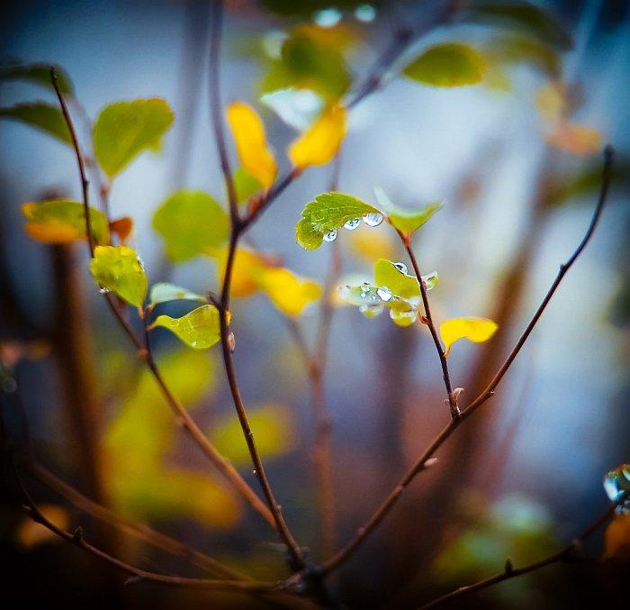 капли, дождь, листья, осень, anita pila