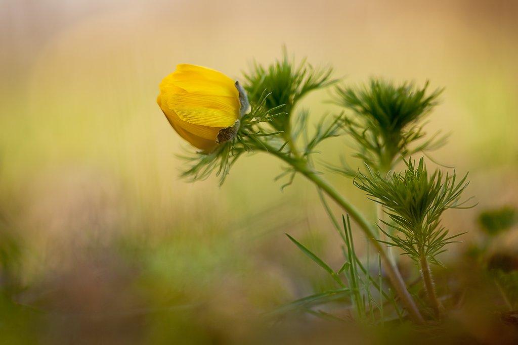 горицвет, адонис, Юлия