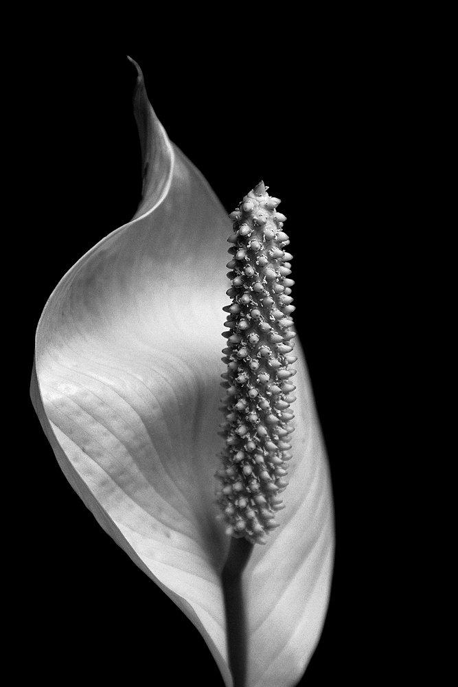 цветок, Агата Синявина