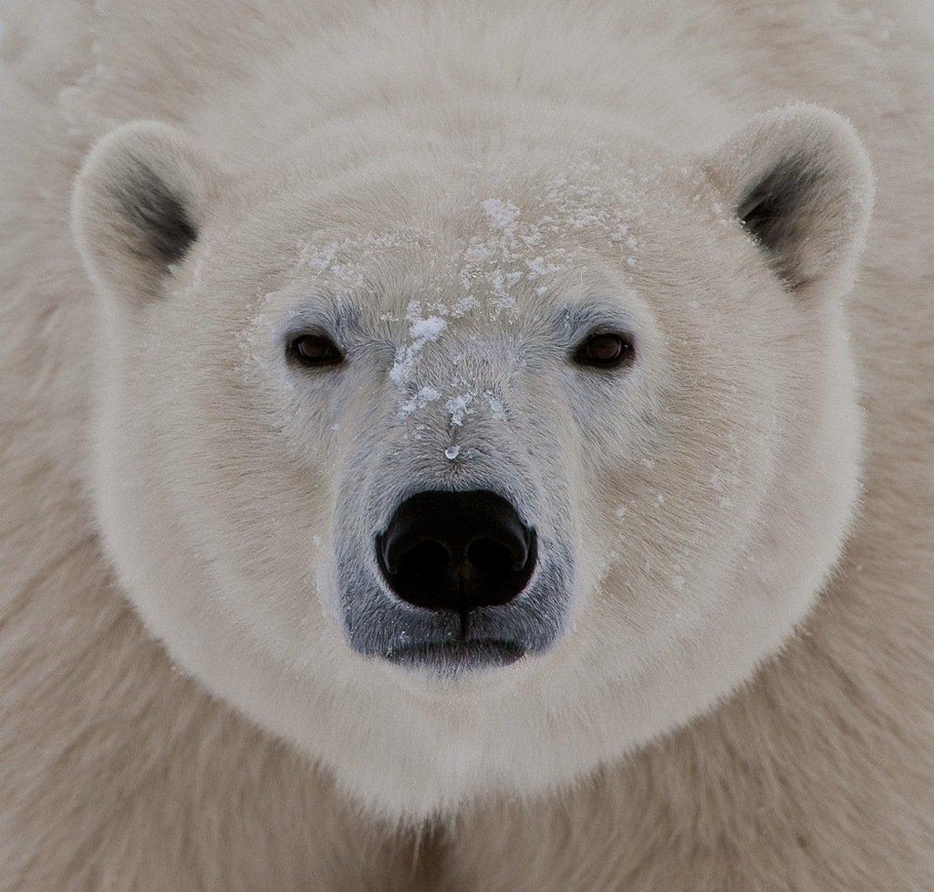 белый медведь, канада, чёрчилл, сергей иванов, Сергей Иванов