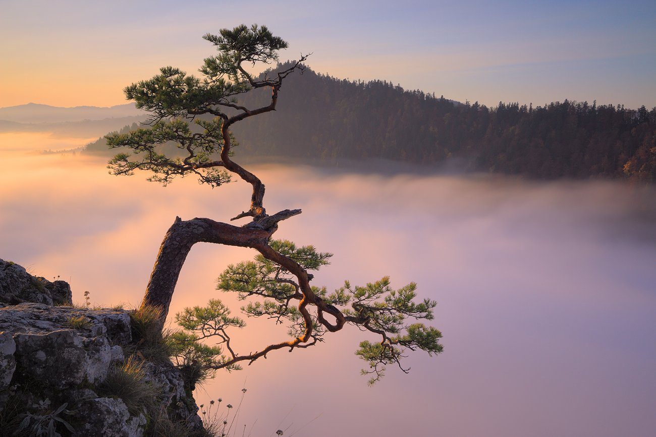pine, tree, mountains, morning, sunrise, fog, pieniny, autumn,, Jacek Lisiewicz