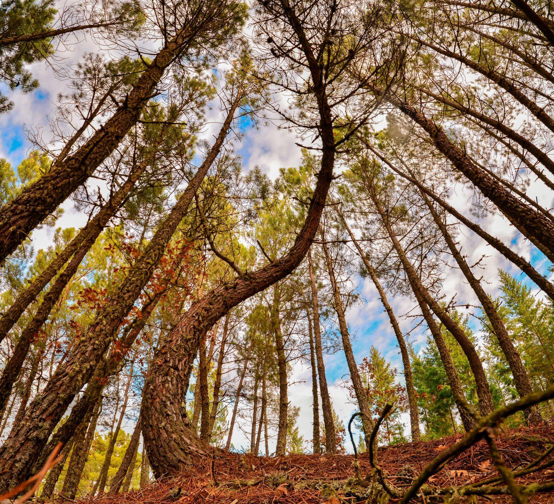 pine, tree, trees, woods, forest, sky, pine, wide angle, panorama, ground, floor, nature, natural, blue sky, Antonio Bernardino