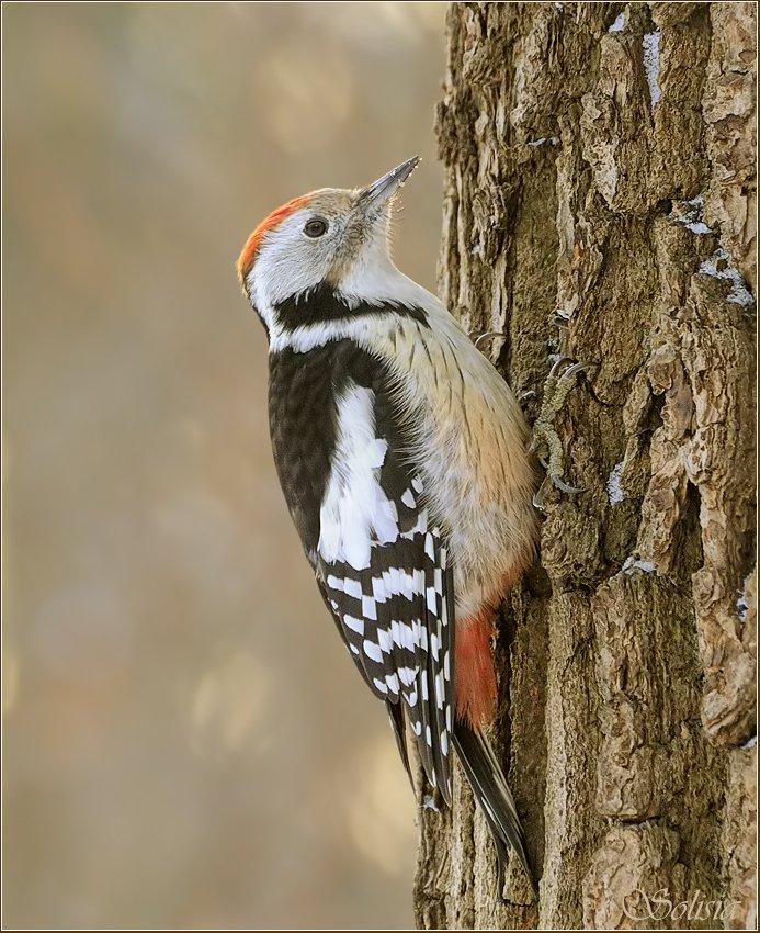 дятел, зима, природа, птицы, средний пёстрый дятел, Солисия