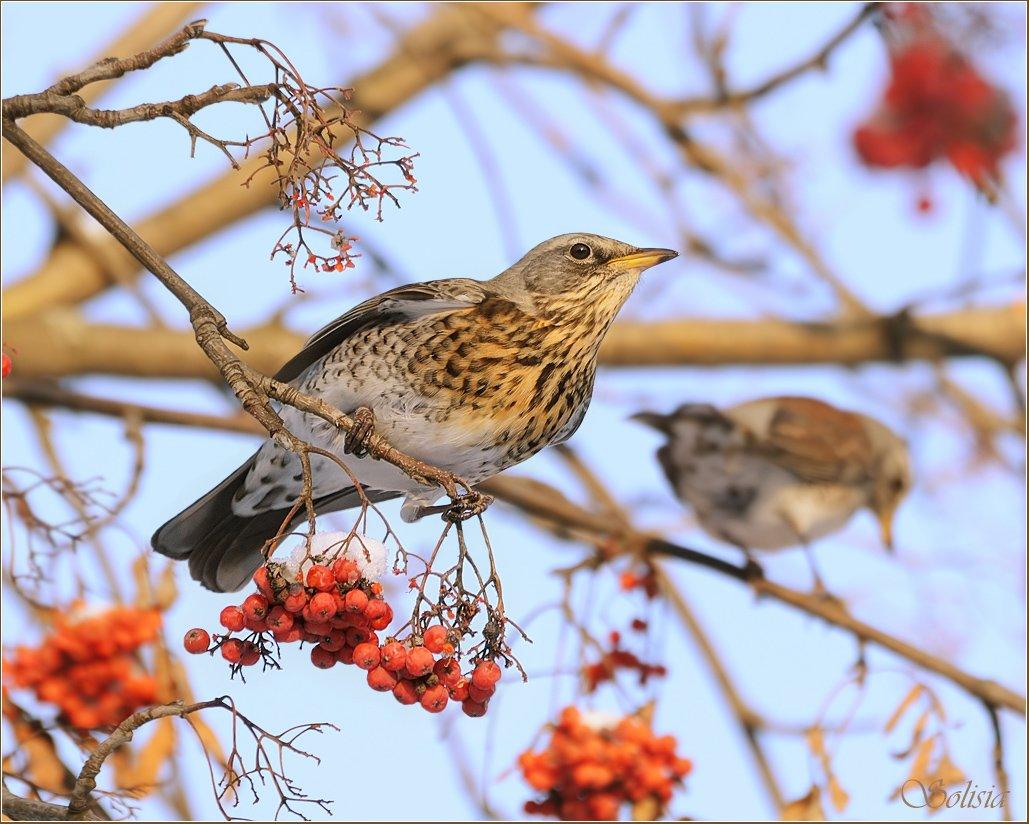 птицы, природа, дрозд, рябинник, зима, Солисия